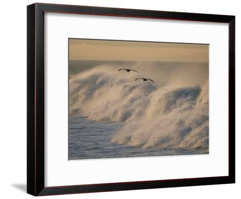 A Pair of Brown Pelicans Glides Above the Surf on Offshore Winds--Framed Art Print