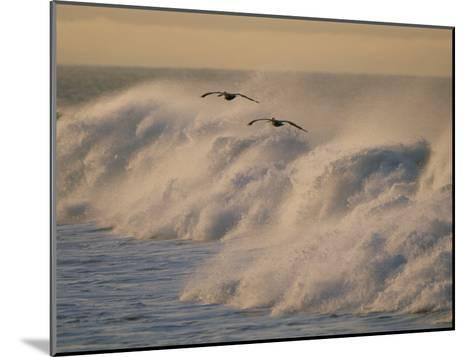 A Pair of Brown Pelicans Glides Above the Surf on Offshore Winds--Mounted Photographic Print