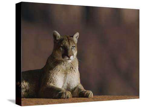 A Portrait of a Mountain Lion at Rest-Norbert Rosing-Stretched Canvas Print
