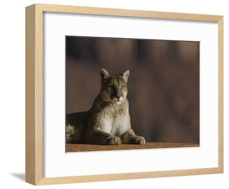 A Portrait of a Mountain Lion at Rest-Norbert Rosing-Framed Art Print