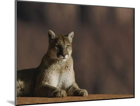 A Portrait of a Mountain Lion at Rest-Norbert Rosing-Mounted Photographic Print