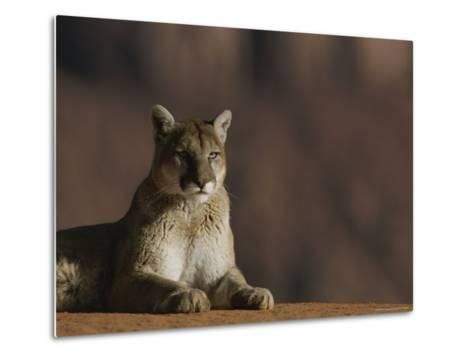A Portrait of a Mountain Lion at Rest-Norbert Rosing-Metal Print