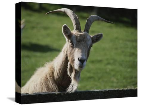 Goat on Farm Looking over a Fence-Todd Gipstein-Stretched Canvas Print