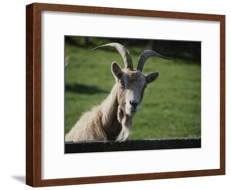 Goat on Farm Looking over a Fence-Todd Gipstein-Framed Art Print
