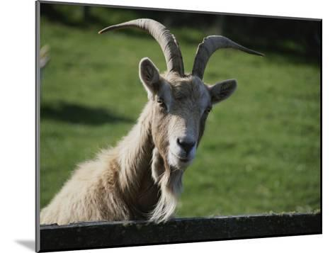 Goat on Farm Looking over a Fence-Todd Gipstein-Mounted Photographic Print