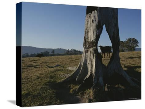A Cow is Framed by a Tree Trunk with a Hole Burned Through It-Sam Abell-Stretched Canvas Print