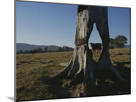 A Cow is Framed by a Tree Trunk with a Hole Burned Through It-Sam Abell-Mounted Photographic Print