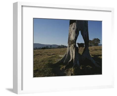 A Cow is Framed by a Tree Trunk with a Hole Burned Through It-Sam Abell-Framed Art Print