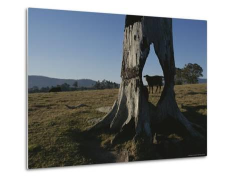 A Cow is Framed by a Tree Trunk with a Hole Burned Through It-Sam Abell-Metal Print