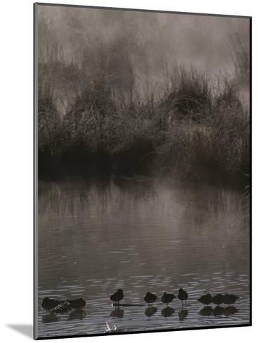 Wading Marsh Birds in Early Morning Fog, Grand Teton National Park-Raymond Gehman-Mounted Photographic Print