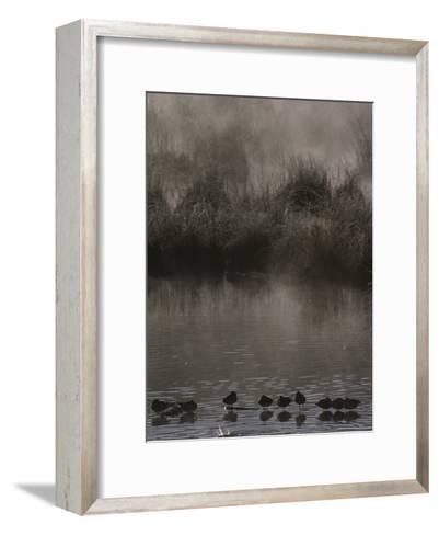 Wading Marsh Birds in Early Morning Fog, Grand Teton National Park-Raymond Gehman-Framed Art Print