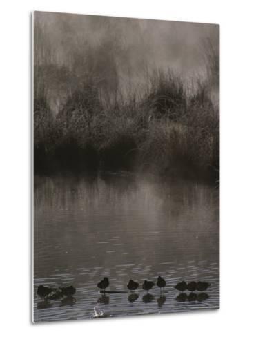 Wading Marsh Birds in Early Morning Fog, Grand Teton National Park-Raymond Gehman-Metal Print