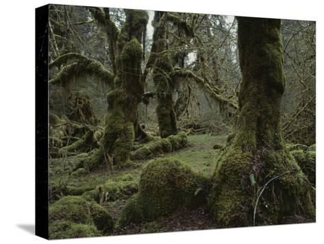 Moss-Covered Trees in the Hoh River Valleys Temperate Rain Forest-Sam Abell-Stretched Canvas Print