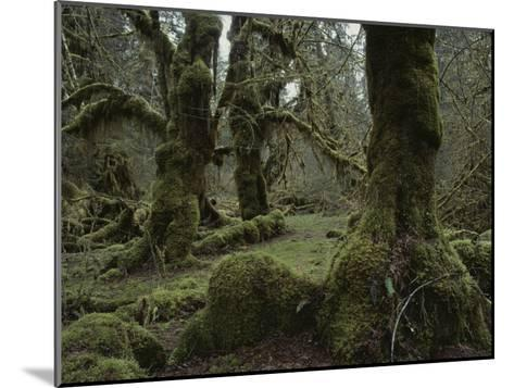 Moss-Covered Trees in the Hoh River Valleys Temperate Rain Forest-Sam Abell-Mounted Photographic Print