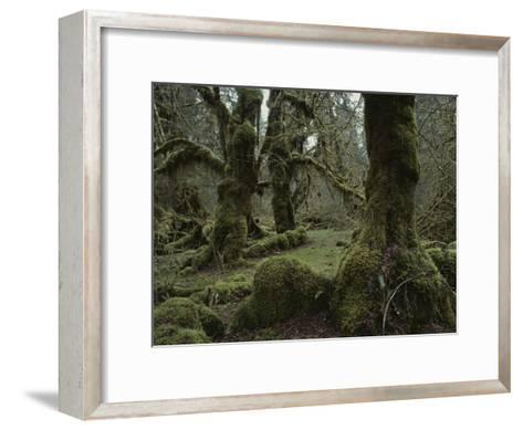 Moss-Covered Trees in the Hoh River Valleys Temperate Rain Forest-Sam Abell-Framed Art Print