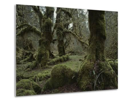 Moss-Covered Trees in the Hoh River Valleys Temperate Rain Forest-Sam Abell-Metal Print
