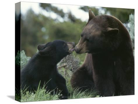 Captive American Black Bear and Cub-Norbert Rosing-Stretched Canvas Print