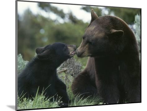 Captive American Black Bear and Cub-Norbert Rosing-Mounted Photographic Print