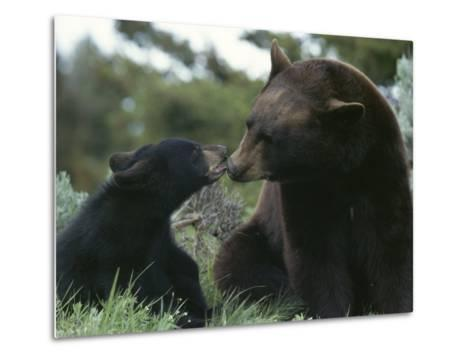 Captive American Black Bear and Cub-Norbert Rosing-Metal Print