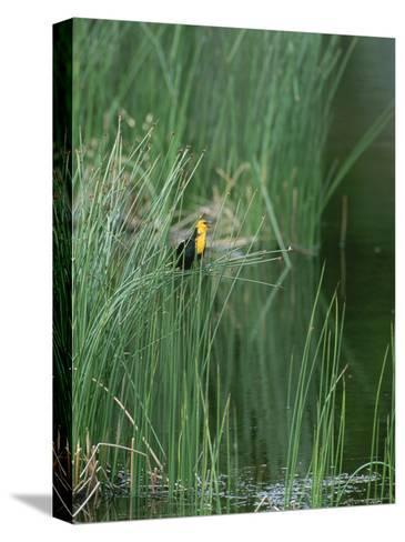 Yellow Headed Blackbird on Grasses-Norbert Rosing-Stretched Canvas Print