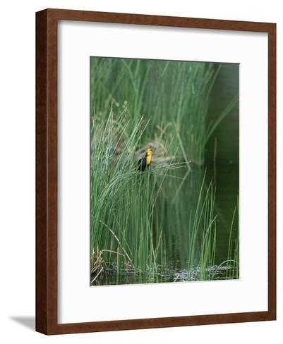 Yellow Headed Blackbird on Grasses-Norbert Rosing-Framed Art Print