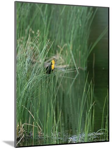 Yellow Headed Blackbird on Grasses-Norbert Rosing-Mounted Photographic Print