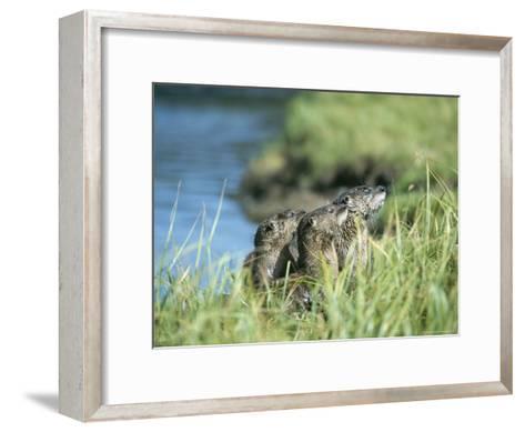 River Otters, Yellowstone Lake-Norbert Rosing-Framed Art Print