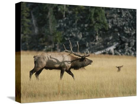 Wapiti, or Elk, Male During Mating Season-Norbert Rosing-Stretched Canvas Print