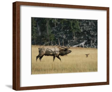 Wapiti, or Elk, Male During Mating Season-Norbert Rosing-Framed Art Print