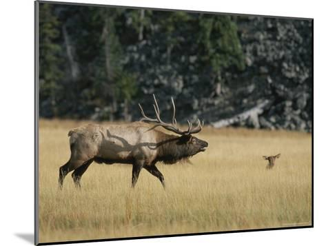 Wapiti, or Elk, Male During Mating Season-Norbert Rosing-Mounted Photographic Print