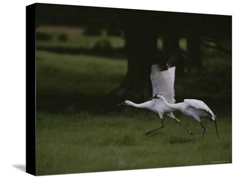 Whooping Cranes in Saint Cloud, Where They are Being Reintroduced-Randy Olson-Stretched Canvas Print