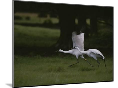 Whooping Cranes in Saint Cloud, Where They are Being Reintroduced-Randy Olson-Mounted Photographic Print