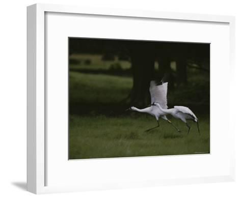 Whooping Cranes in Saint Cloud, Where They are Being Reintroduced-Randy Olson-Framed Art Print