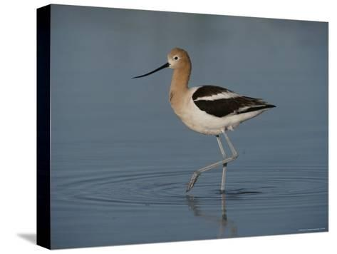 Close View of an American Avocet-Bates Littlehales-Stretched Canvas Print