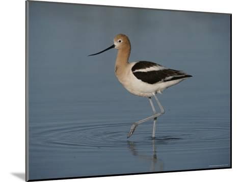 Close View of an American Avocet-Bates Littlehales-Mounted Photographic Print