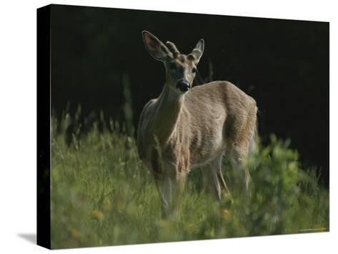 Antlers Begin to Sprout on a White-Tail Bucks Head-Bates Littlehales-Stretched Canvas Print