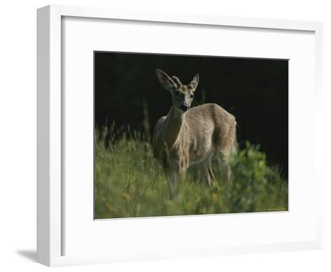 Antlers Begin to Sprout on a White-Tail Bucks Head-Bates Littlehales-Framed Art Print