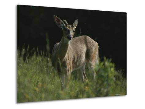 Antlers Begin to Sprout on a White-Tail Bucks Head-Bates Littlehales-Metal Print