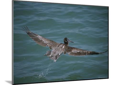 Brown Pelican in Flight-Marc Moritsch-Mounted Photographic Print