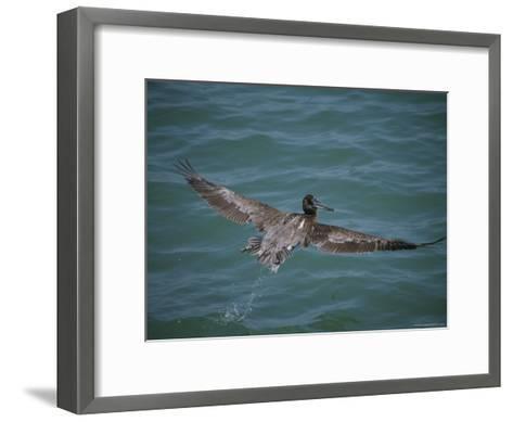 Brown Pelican in Flight-Marc Moritsch-Framed Art Print