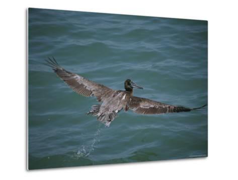 Brown Pelican in Flight-Marc Moritsch-Metal Print