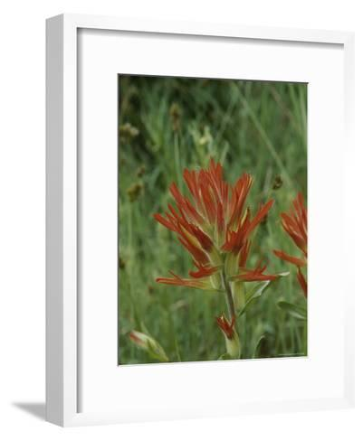 Close View of Indian Paintbrush Flowers-Marc Moritsch-Framed Art Print