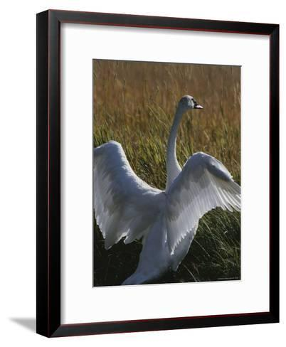A Trumpeter Swan Stretches His Wings Amid a Field of Tall Grasses-Michael Melford-Framed Art Print