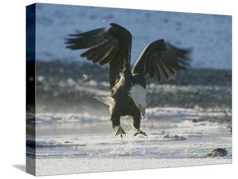 A Northern American Bald Eagle Lunges Down Toward the Water to Grasp a Fish with its Talons-Norbert Rosing-Stretched Canvas Print