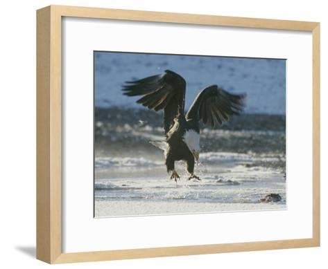 A Northern American Bald Eagle Lunges Down Toward the Water to Grasp a Fish with its Talons-Norbert Rosing-Framed Art Print