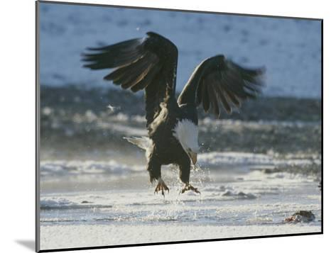 A Northern American Bald Eagle Lunges Down Toward the Water to Grasp a Fish with its Talons-Norbert Rosing-Mounted Photographic Print