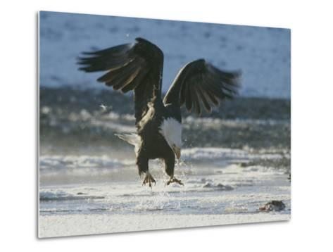 A Northern American Bald Eagle Lunges Down Toward the Water to Grasp a Fish with its Talons-Norbert Rosing-Metal Print