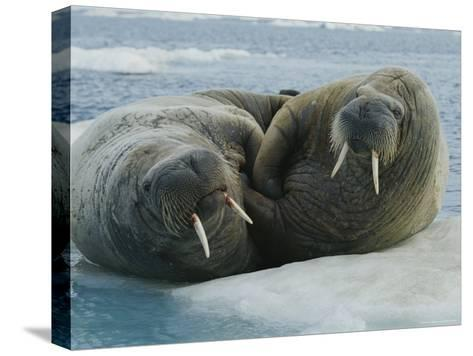 Two Atlantic Walruses Rest on an Ice Floe-Norbert Rosing-Stretched Canvas Print
