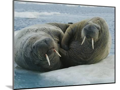 Two Atlantic Walruses Rest on an Ice Floe-Norbert Rosing-Mounted Photographic Print