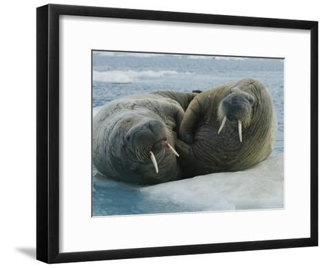 Two Atlantic Walruses Rest on an Ice Floe-Norbert Rosing-Framed Art Print